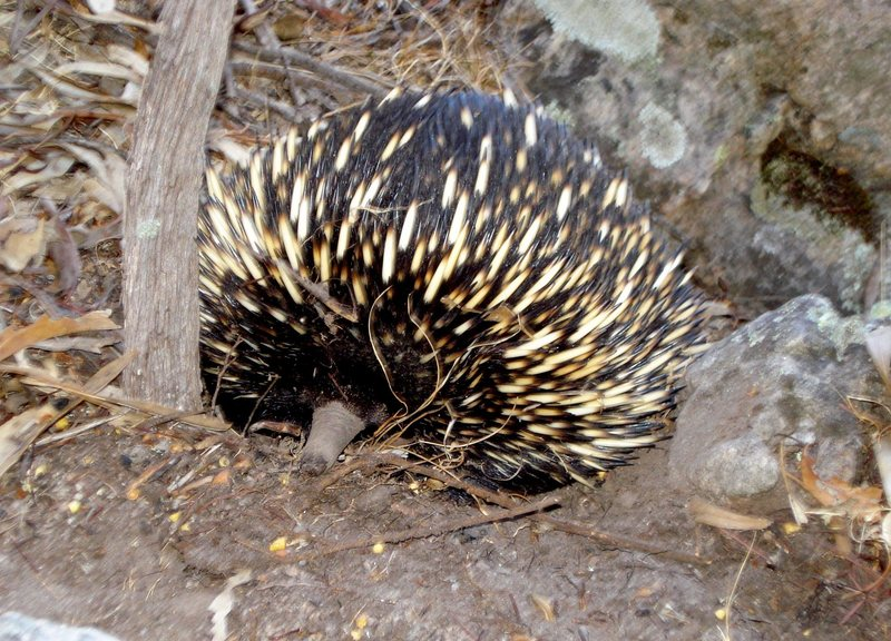 We saw an echidna below Eskimo Nell (Central gully left side) and another echidna descending from the Organ Pipes.
