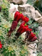 Rock Climbing Photo: Cacti in bloom by the Mall Wall
