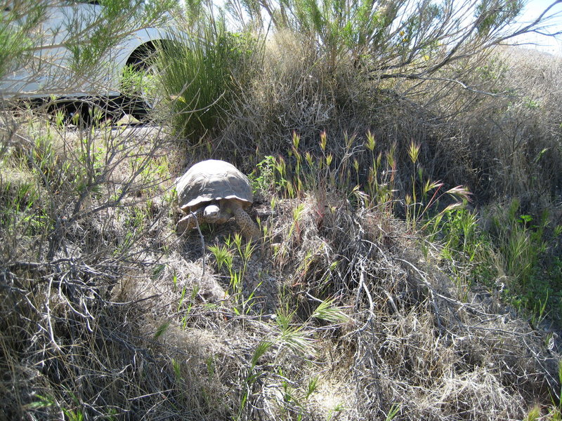 Desert Tortoise busting off the road at Red Rocks
