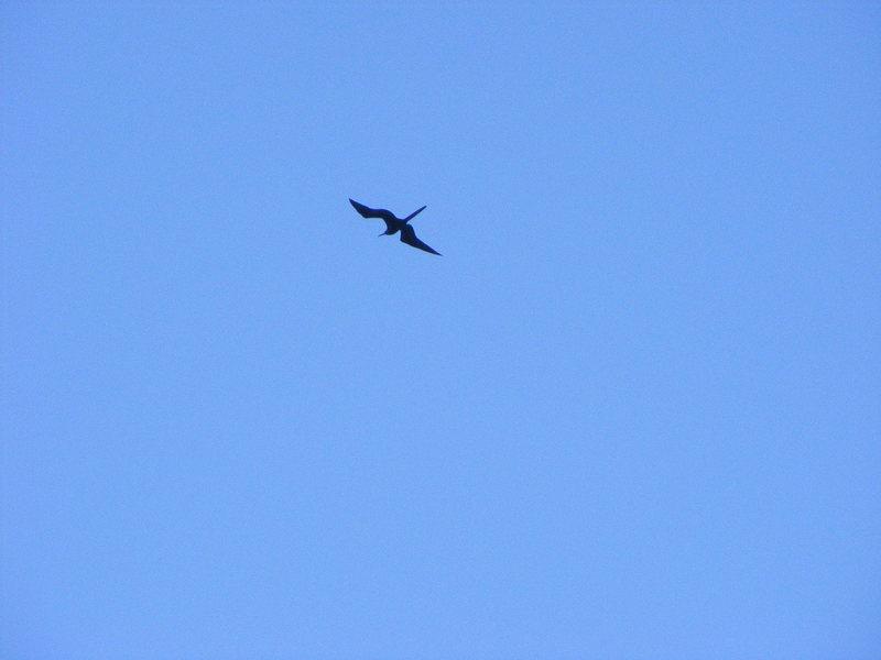 Rock Climbing Photo: Frigatebirds, also known as Men 'O War.
