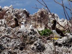 Rock Climbing Photo: Brown Boobie Birds and their fuzzy white chicks. T...