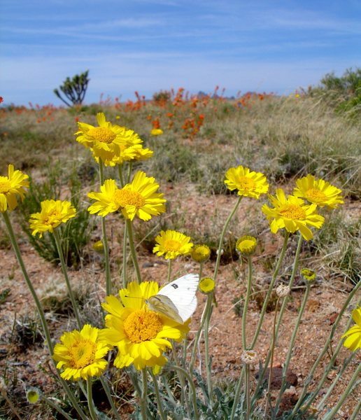 Spring flowers, and a butterfly in the Mojave Preserve/ Castle Peaks.