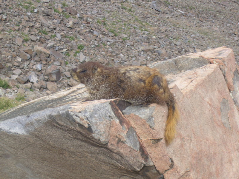 A not so shy Marmot.