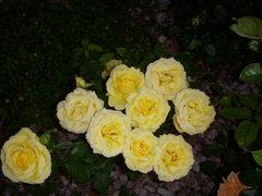 Rock Climbing Photo: Texans Love Yellow Roses even in Boulder