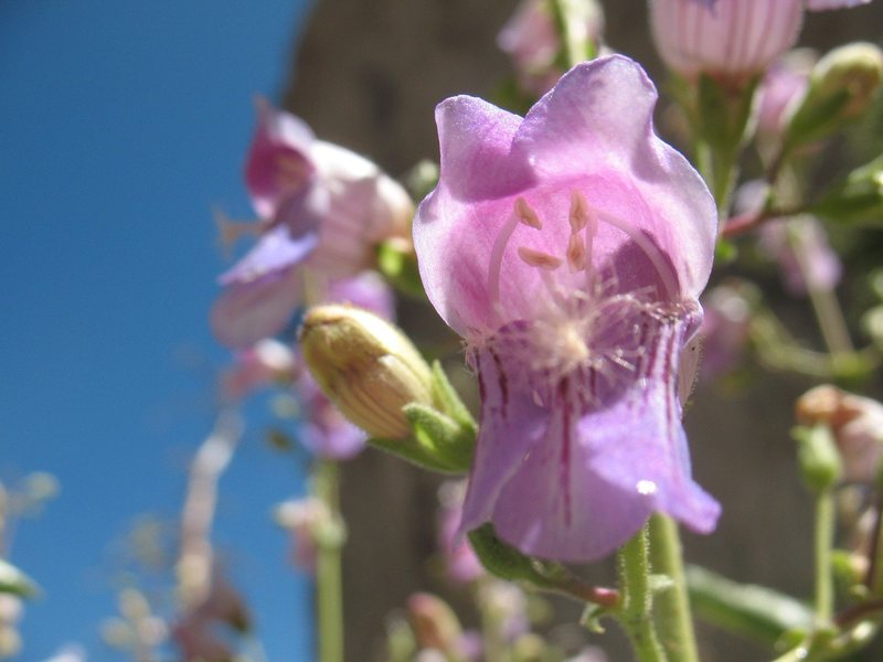 Bush Beardtongue (Keckiella breviflora) near the Hungover Wall, Keller Peak