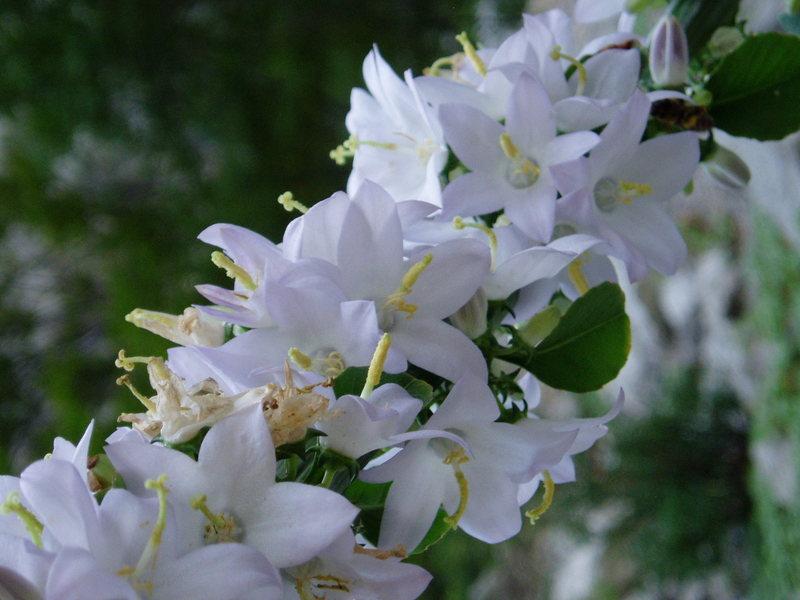 flowers in Paklenica