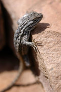Rock Climbing Photo: Side-blotched lizard, Northern Arizona. earthworks...