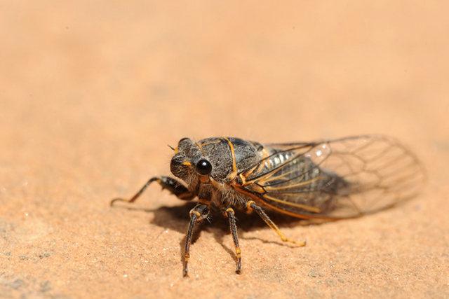 Cicada, seen in Northern Arizona