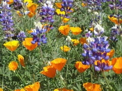 Rock Climbing Photo: Poppies and Lupin...