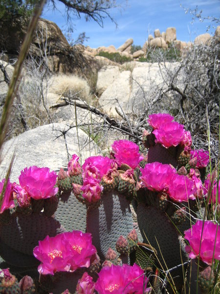 Rock Climbing Photo: Cactus flowers in Joshua Tree.  May 2008.