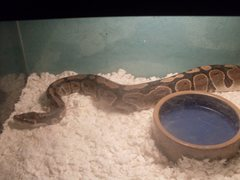 Rock Climbing Photo: Ball Python
