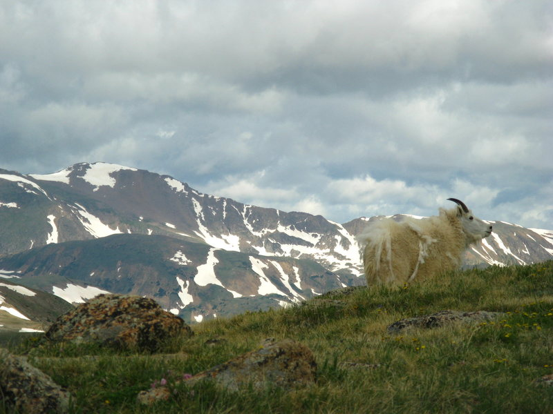 Rock Climbing Photo: One of a herd of mountain goats just above the Len...