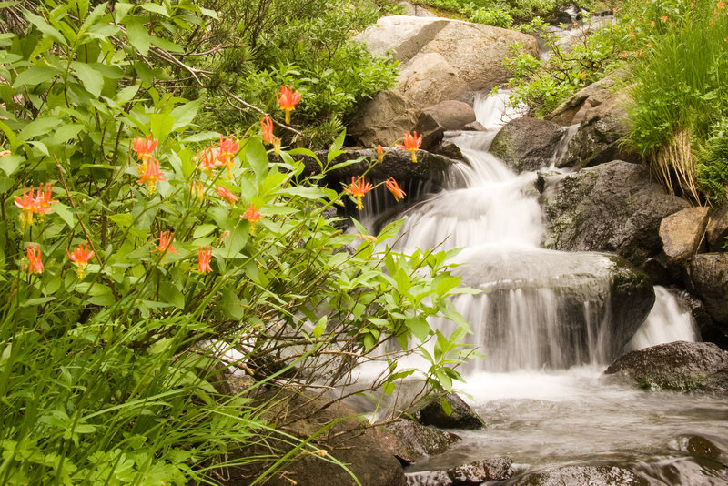 Wildflowers (North West Columbine) along the banks of the stream flowing from T J Lake.