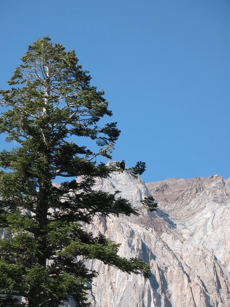 Rock Climbing Photo: Bald Eagle on the shore of Convict Lake.