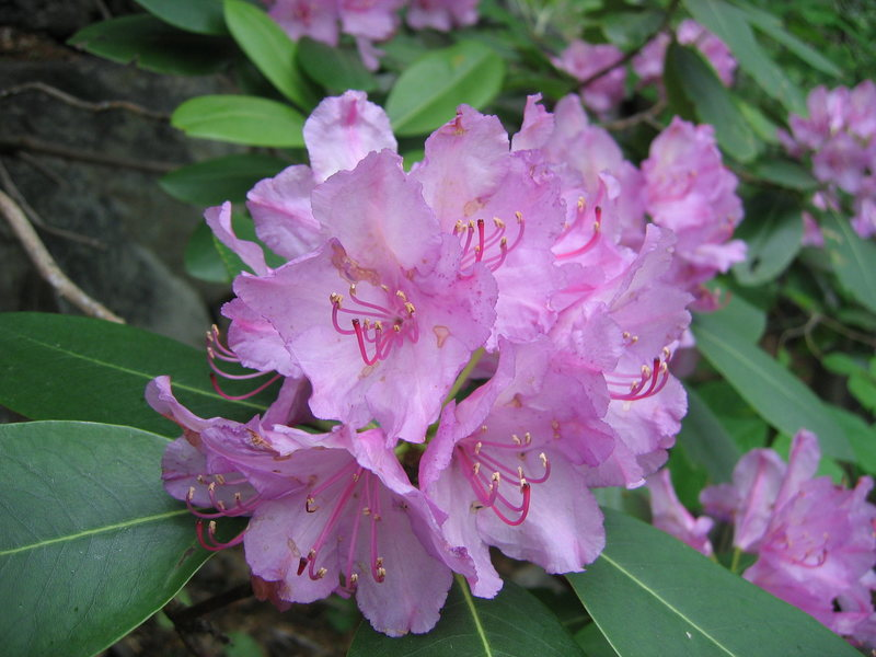 Rhododendrons at the New River Gorge (late May - early June).