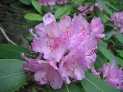 Rock Climbing Photo: Rhododendrons at the New River Gorge (late May - e...