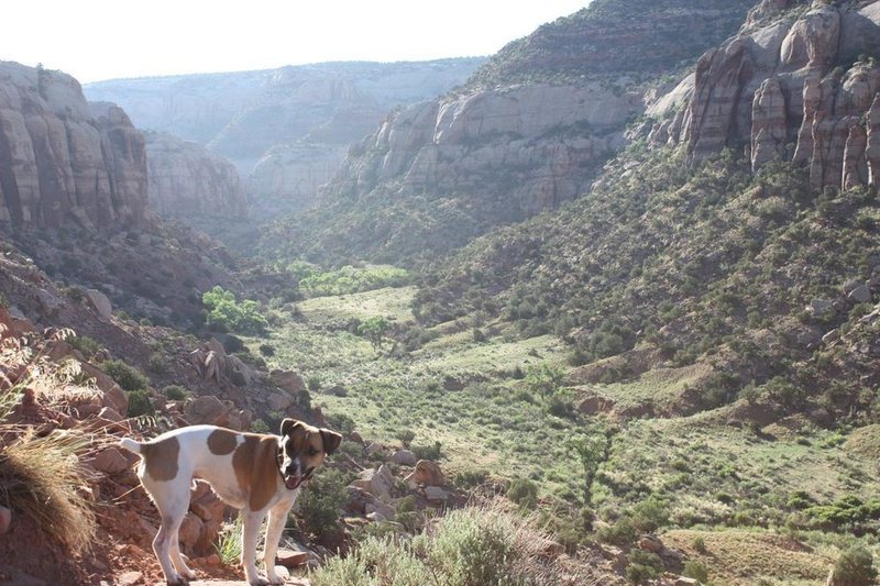 Kota overlooking Donnally Canyon in Indian Creek