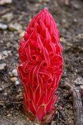 Rock Climbing Photo: Snow Plant (Sarcodes sanguinea)  San Bernardino Na...