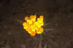 Rock Climbing Photo: Western Wallflower (Erysimum capitatum subsp. perr...