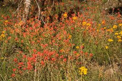 Rock Climbing Photo: Western Wallflower and Indian Paintbrush on the sl...