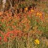 Western Wallflower and Indian Paintbrush on the slopes of San Bernardino peak.