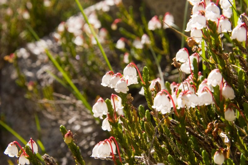 Rock Climbing Photo: White Heather (Cassiope mertensiana)  Treasure Lak...