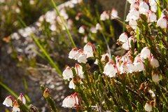 Rock Climbing Photo: White Heather (Cassiope mertensiana)  Treasure Lak...