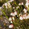 White Heather (Cassiope mertensiana)<br> <br> Treasure Lakes Basin, Bishop