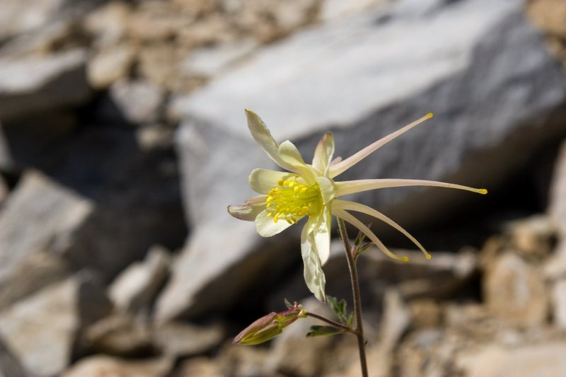 Coville's Columbine (Aquilegia pubescens)<br> <br> Treasure Lakes Basin, Bishop