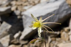 Rock Climbing Photo: Coville's Columbine (Aquilegia pubescens)  Treasur...