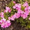 Sierra Primrose (Primula suffrutescens)<br> <br> East slopes of Mt Whitney