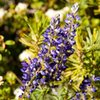 Large-Leaved Lupine (Lupinus polyphyllus var. burkei)<br> <br> Treasure Lakes Basin, Bishop