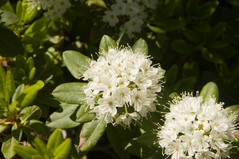 Western Labrador-Tea (Ledum glandulosum) <br> <br> Treasure Lakes Basin, Bishop
