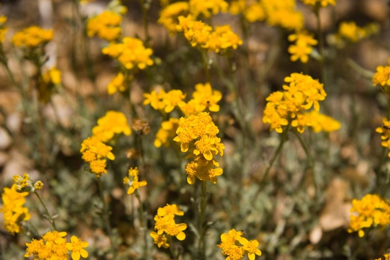 Yellow Pincushion (Chaenactis glabriuscula)<br> <br> San Bernardino National Forest