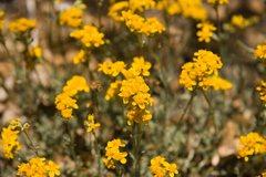 Rock Climbing Photo: Yellow Pincushion (Chaenactis glabriuscula)  San B...