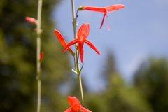 Rock Climbing Photo: Scarlet-Gilia (Ipomopsis aggregata)  San Bernardin...