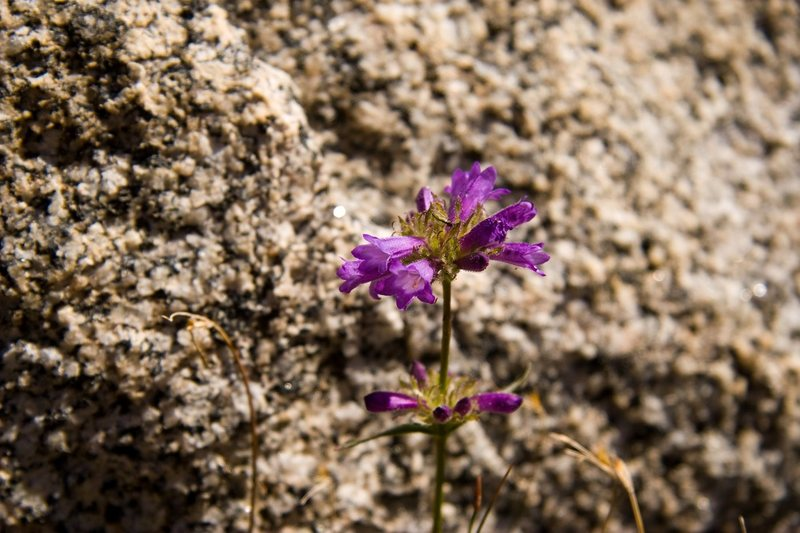 Sierra Penstemon (Penstemon heterodoxus)<br> <br> Treasure Lakes Basin, Bishop