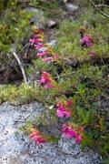 Rock Climbing Photo: Mountain Pride (Penstemon newberry)  Treasure Lake...