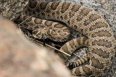 Rock Climbing Photo: Rattlesnake!