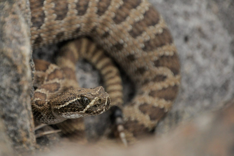 This is the same snake as the other photo, but our crew spotted between 7 and 10 rattlers in total.