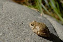 Rock Climbing Photo: Foothill Yellow-Legged Frog (Rana boylii) Wheeler ...