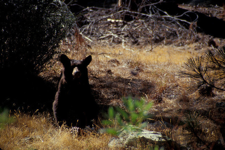 Black Bears are a common sight throughout the Kern River Valley.  Proper food storage is a must.