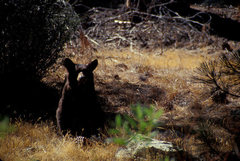 Rock Climbing Photo: Black Bears are a common sight throughout the Kern...