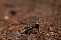 Rock Climbing Photo: Horned Lizard--another of the extraordinary creatu...