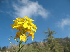 Rock Climbing Photo: Western Wallflower (Erysimium capitatum) near the ...