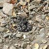 Young rattler in the San Bernardino Mountains