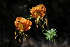 Rock Climbing Photo: Humboldt Lilies, growing along Hwy-33 above Ojai