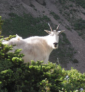 Rock Climbing Photo: A mountain goat on Timpanogos. I saw 40 or 50 in a...