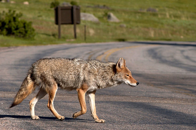 Coyote, Rocky Mountain National Park.