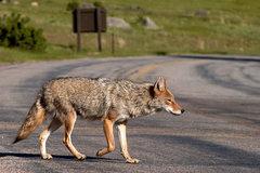 Rock Climbing Photo: Coyote, Rocky Mountain National Park.